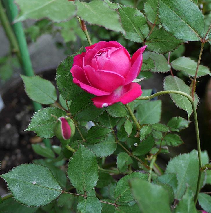 ルイフィリップ(木立バラ)の花が咲いた。2018年-4.jpg