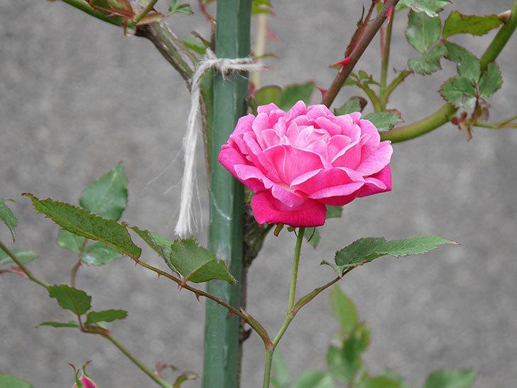 ルイフィリップ(木立バラ)の花が咲いた。2019年-1.jpg
