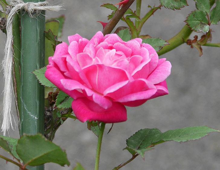 ルイフィリップ(木立バラ)の花が咲いた。2019年-2.jpg