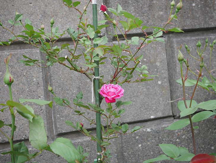 ルイフィリップ(木立バラ)の花が咲いた。2019年-3.jpg