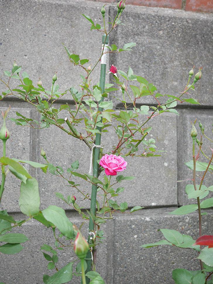 ルイフィリップ(木立バラ)の花が咲いた。2019年-4.jpg