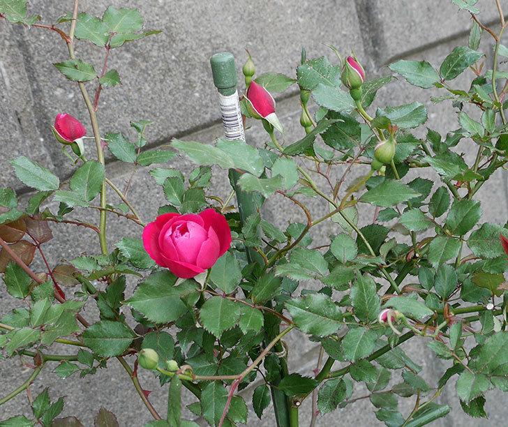 ルイフィリップ(木立バラ)の花が増えてきた。2018年-1.jpg