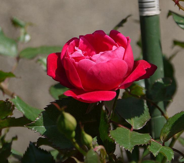 ルイフィリップ(木立バラ)の花が増えてきた。2018年-10.jpg