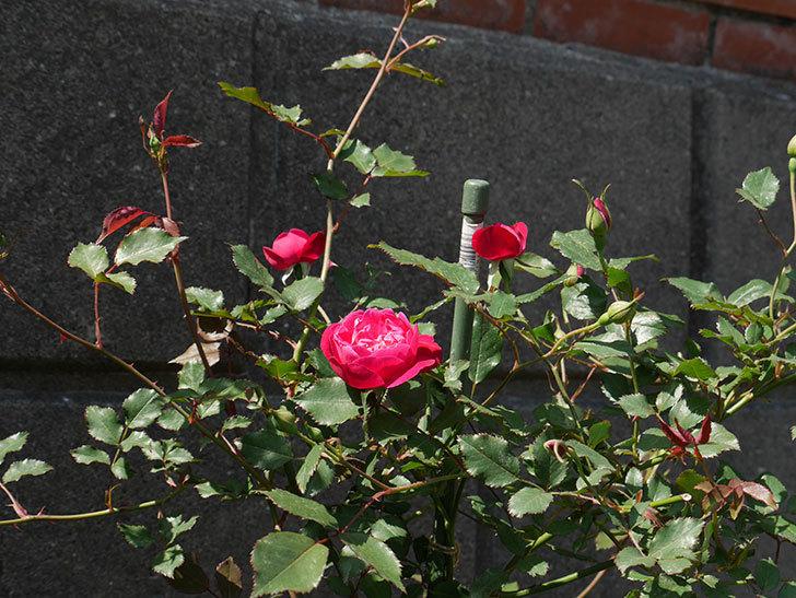 ルイフィリップ(木立バラ)の花が増えてきた。2018年-11.jpg