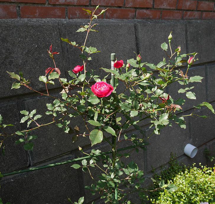 ルイフィリップ(木立バラ)の花が増えてきた。2018年-12.jpg