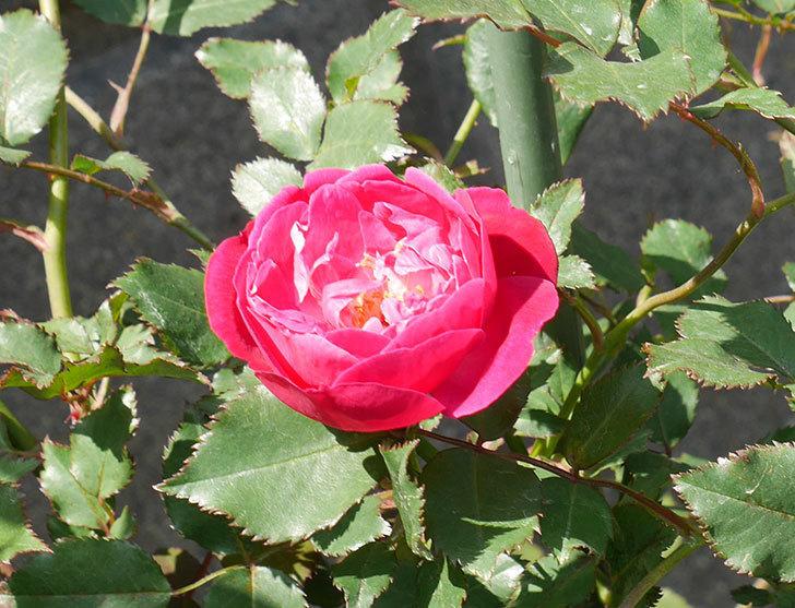 ルイフィリップ(木立バラ)の花が増えてきた。2018年-13.jpg