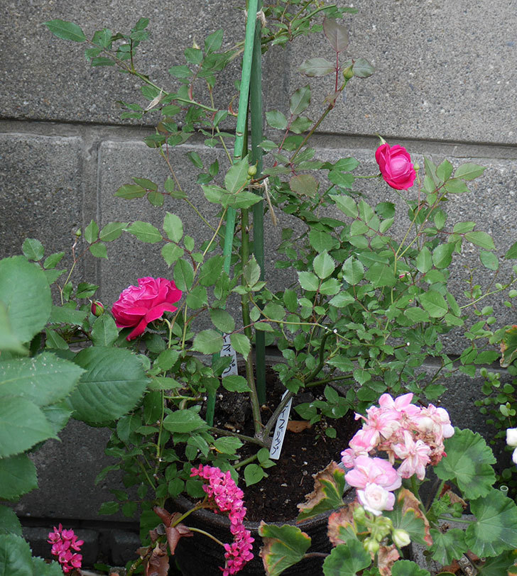 ルイフィリップ(木立バラ)の花が増えてきた。2018年-4.jpg