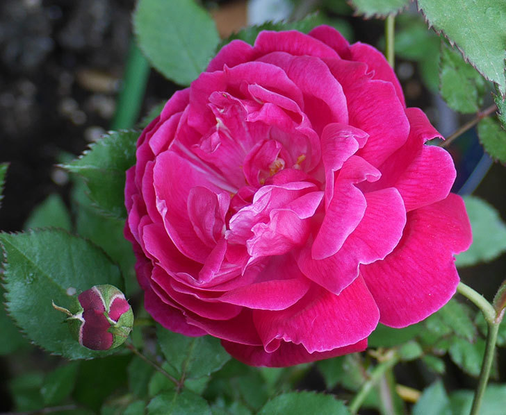ルイフィリップ(木立バラ)の花が増えてきた。2018年-6.jpg