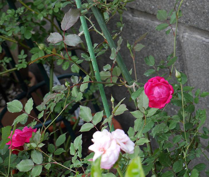 ルイフィリップ(木立バラ)の花が増えてきた。2018年-7.jpg