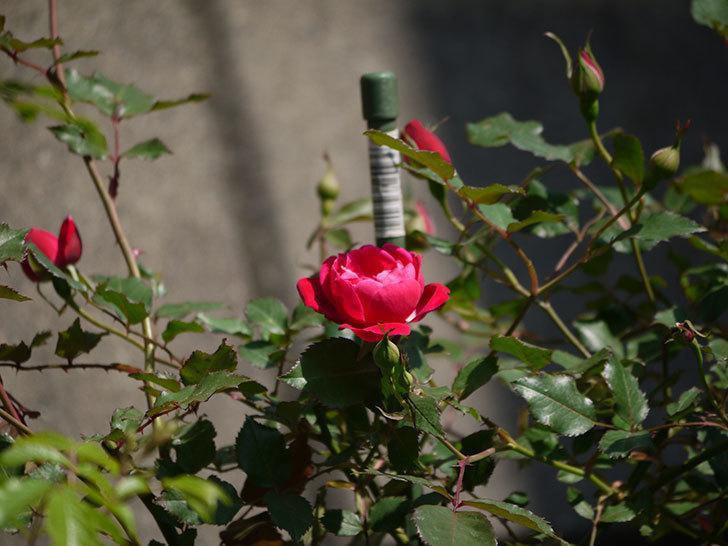 ルイフィリップ(木立バラ)の花が増えてきた。2018年-8.jpg