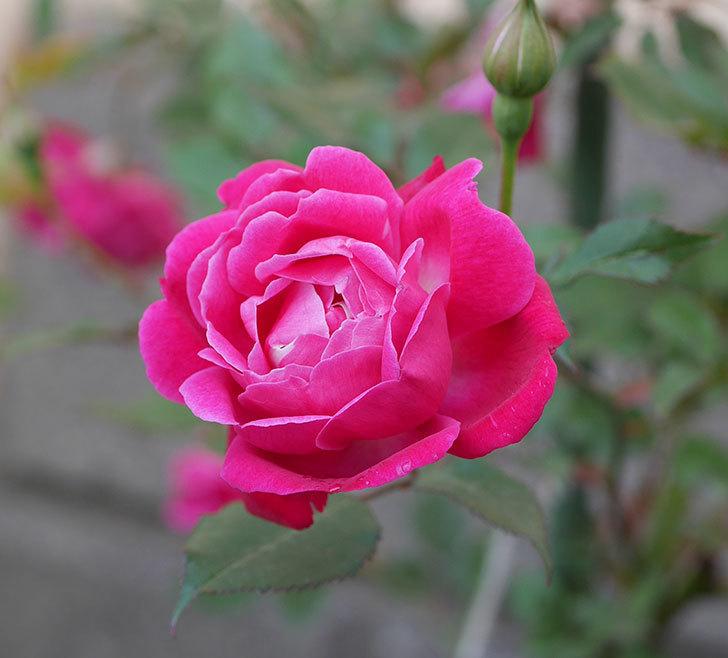 ルイフィリップ(木立バラ)の花が増えて来た。2019年-1.jpg
