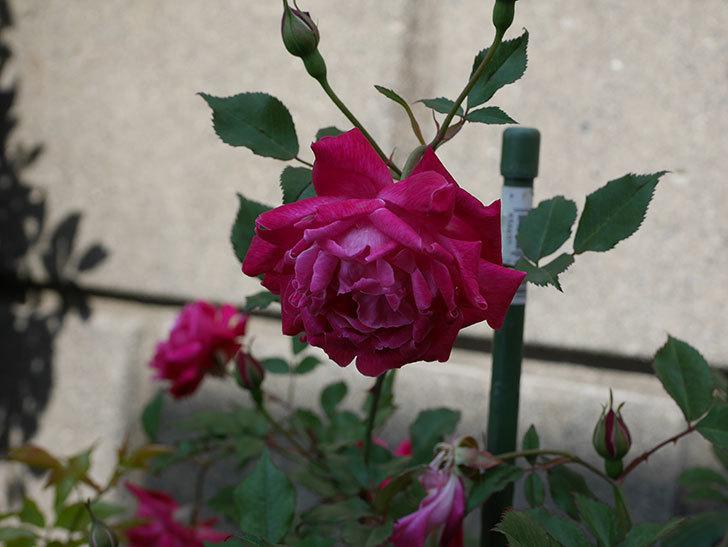 ルイフィリップ(木立バラ)の花が増えて来た。2019年-2.jpg