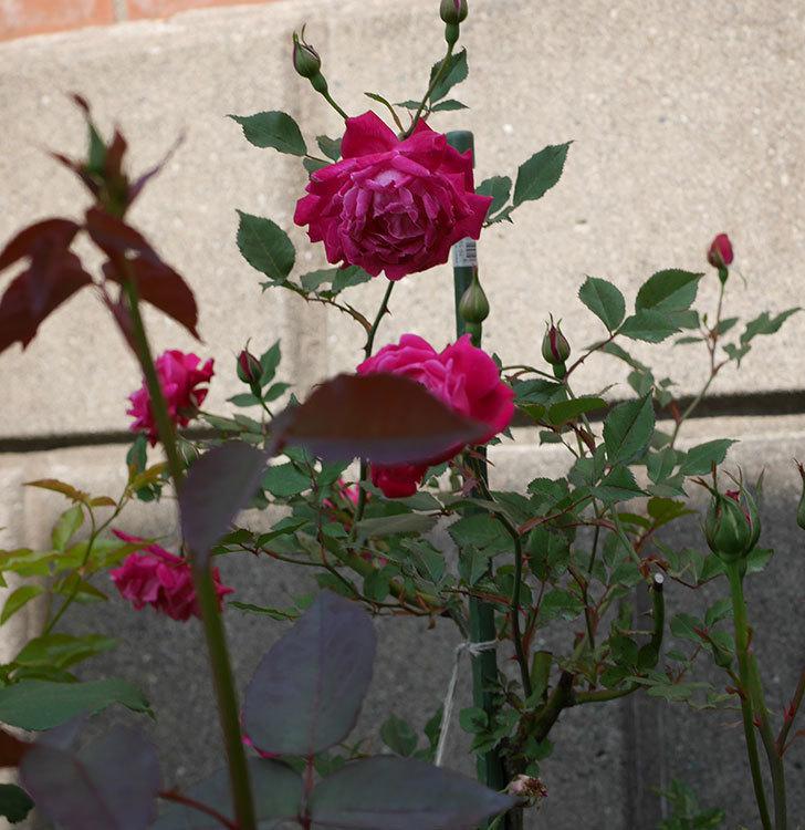 ルイフィリップ(木立バラ)の花が増えて来た。2019年-4.jpg