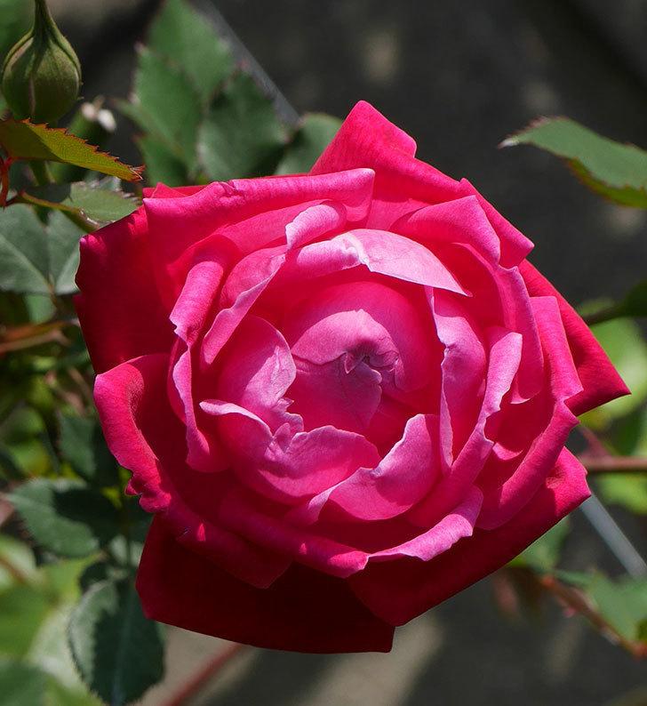 ルイフィリップ(木立バラ)の花が綺麗に咲いた。2020年-2.jpg