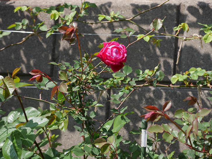 ルイフィリップ(木立バラ)の花が綺麗に咲いた。2020年-3.jpg