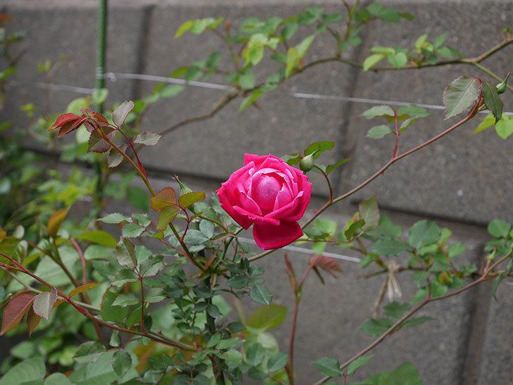 ルイフィリップ(木立バラ)の花が綺麗に咲いた。2020年-4.jpg