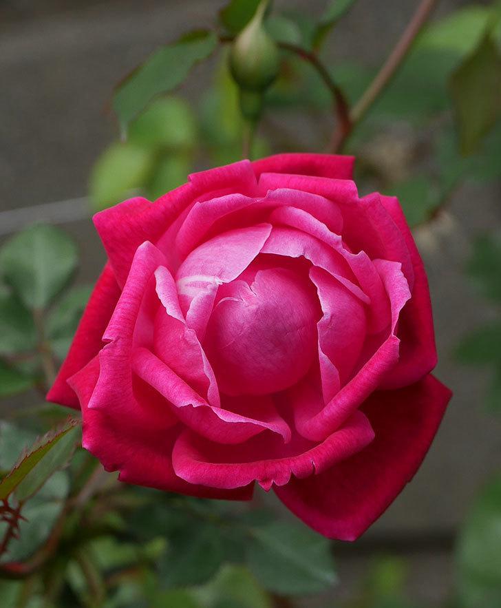 ルイフィリップ(木立バラ)の花が綺麗に咲いた。2020年-5.jpg