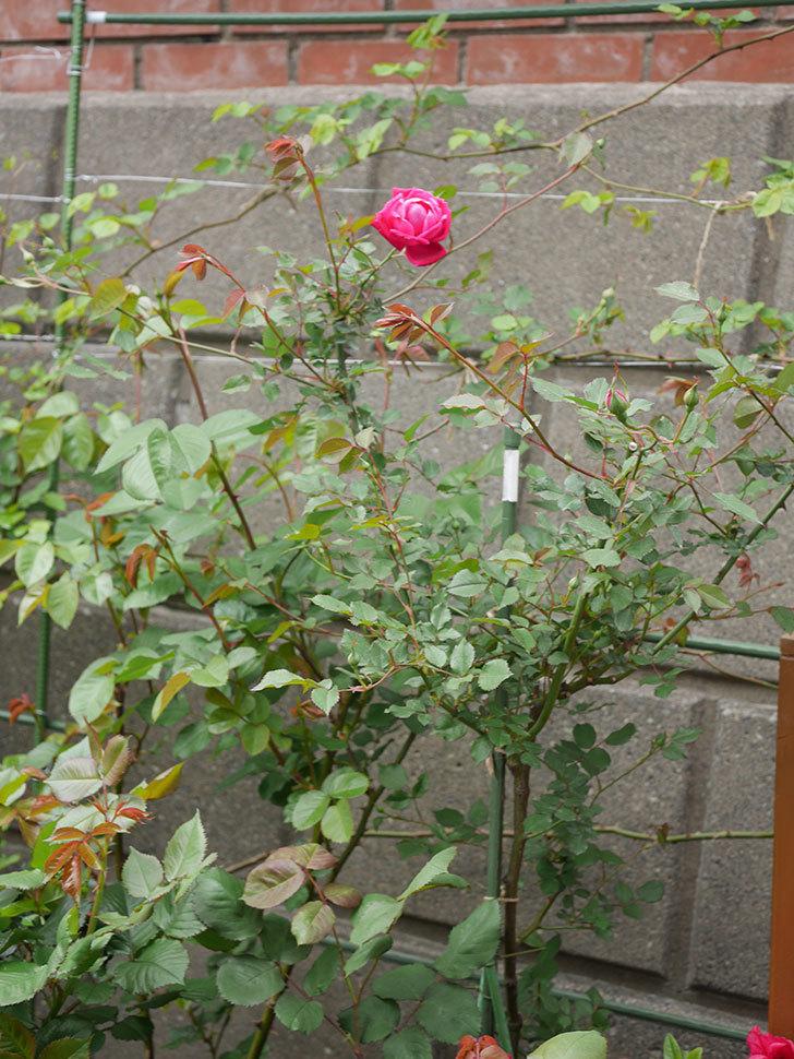 ルイフィリップ(木立バラ)の花が綺麗に咲いた。2020年-7.jpg