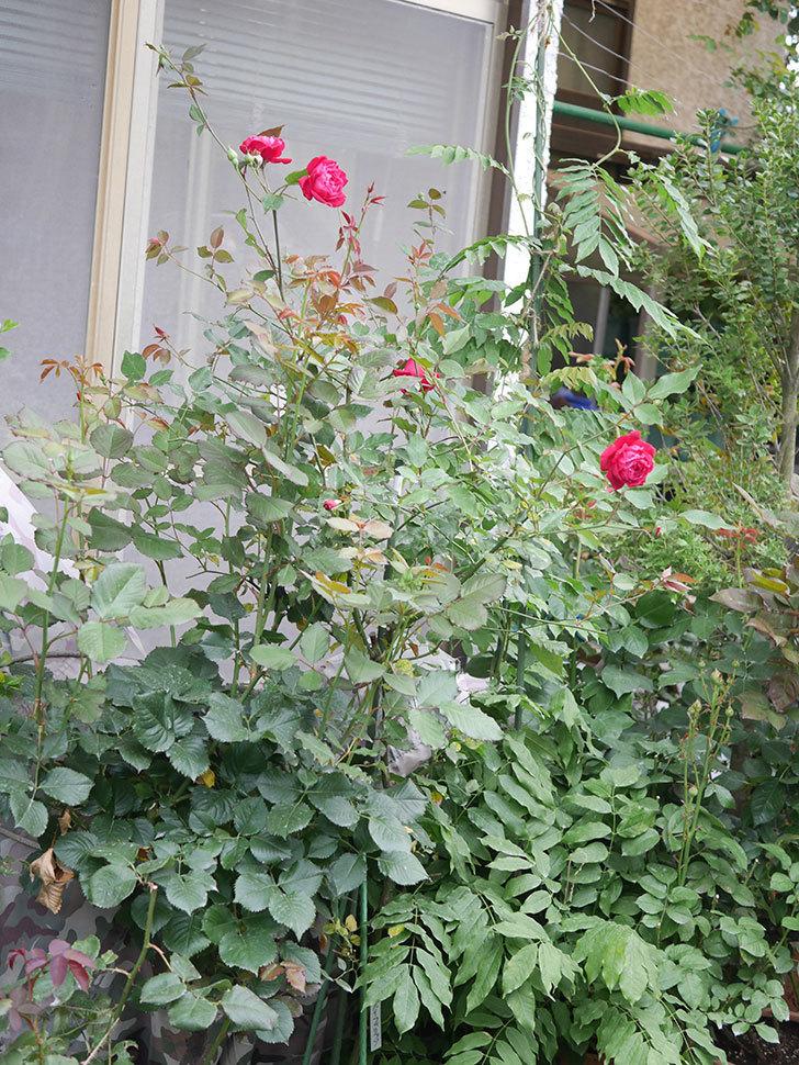 ルイフィリップ(Louis Philippe)の2番花が増えてきた。木立バラ。2020年-001.jpg