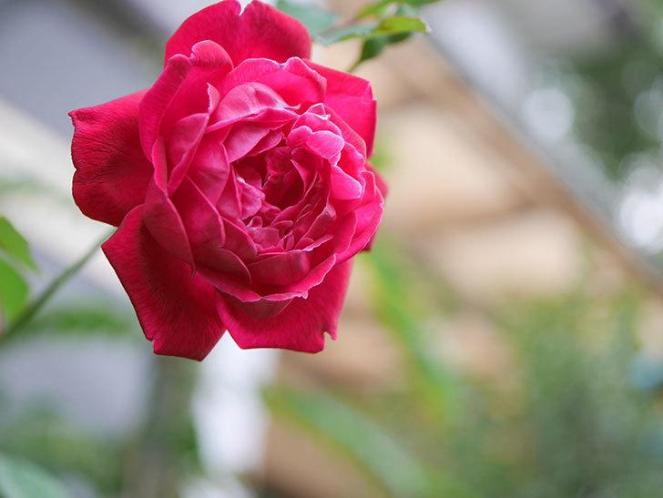 ルイフィリップ(Louis Philippe)の2番花が増えてきた。木立バラ。2020年-002.jpg