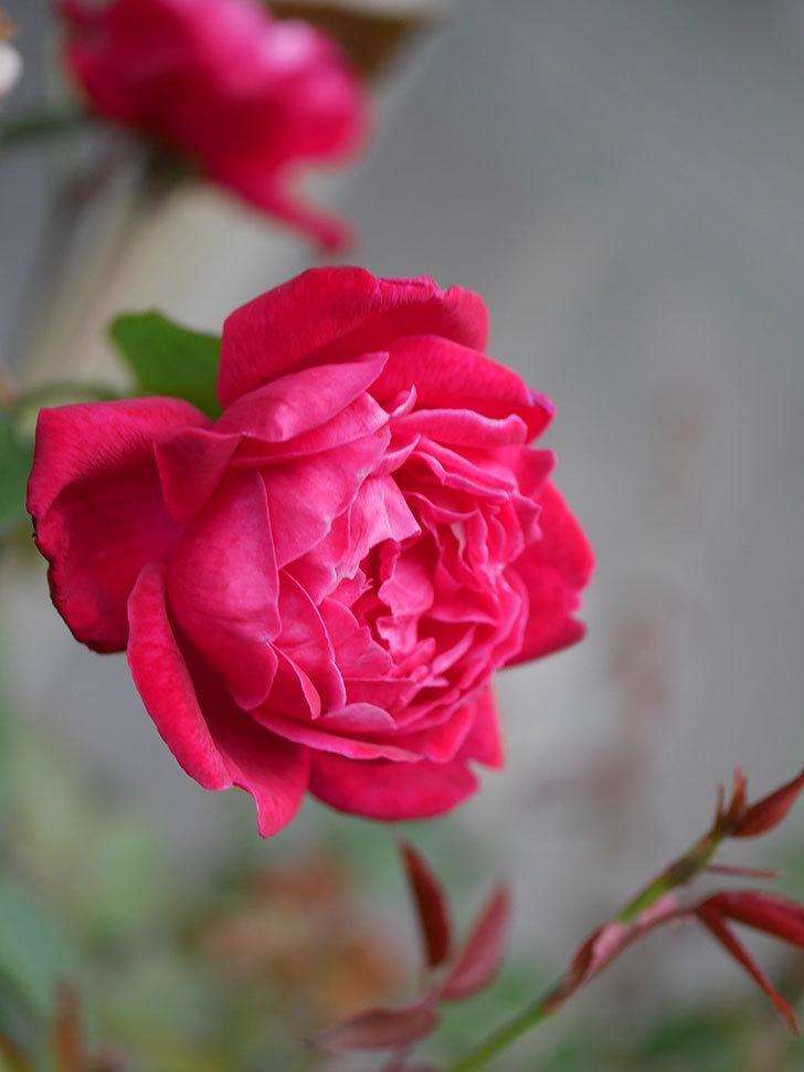 ルイフィリップ(Louis Philippe)の2番花が増えてきた。木立バラ。2020年-004.jpg