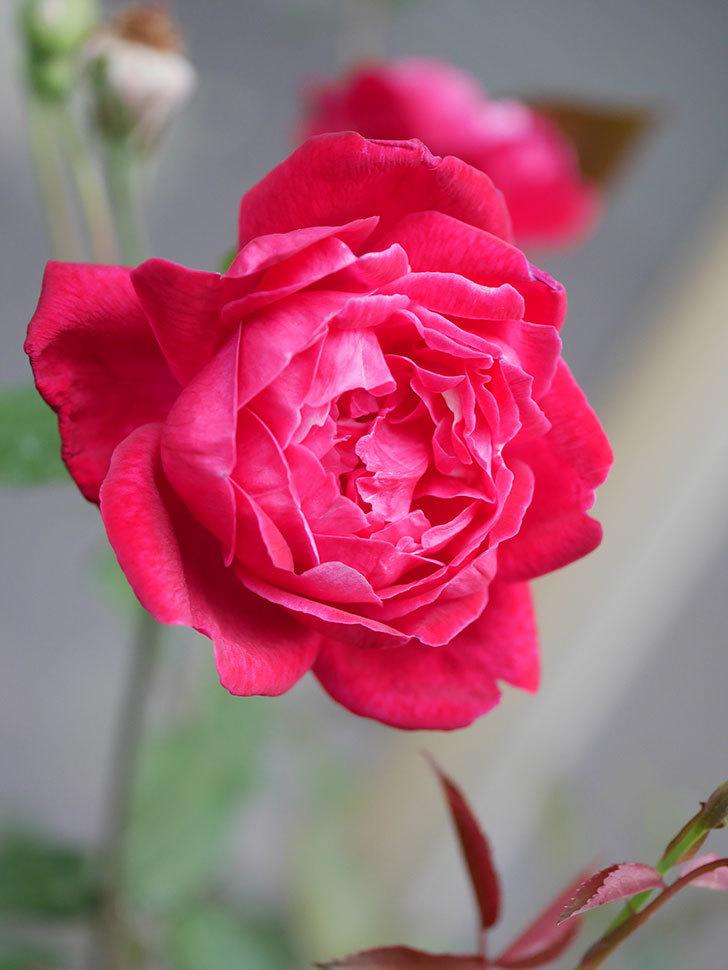 ルイフィリップ(Louis Philippe)の2番花が増えてきた。木立バラ。2020年-005.jpg