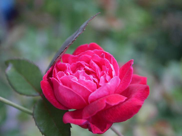 ルイフィリップ(Louis Philippe)の2番花が増えてきた。木立バラ。2020年-006.jpg