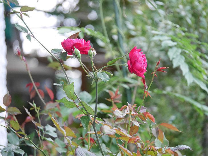 ルイフィリップ(Louis Philippe)の2番花が増えてきた。木立バラ。2020年-007.jpg