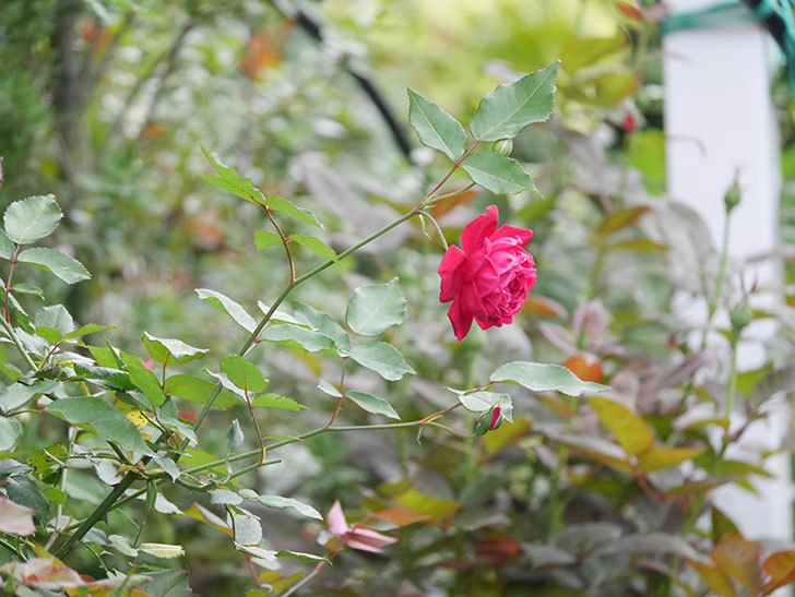 ルイフィリップ(Louis Philippe)の2番花が増えてきた。木立バラ。2020年-008.jpg