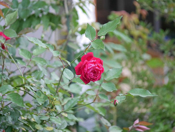 ルイフィリップ(Louis Philippe)の2番花が増えてきた。木立バラ。2020年-010.jpg