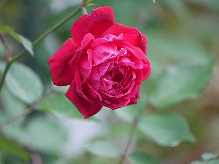 ルイフィリップ(Louis Philippe)の2番花が増えてきた。木立バラ。2020年-011.jpg