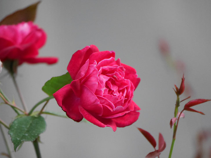 ルイフィリップ(Louis Philippe)の2番花が増えてきた。木立バラ。2020年-012.jpg