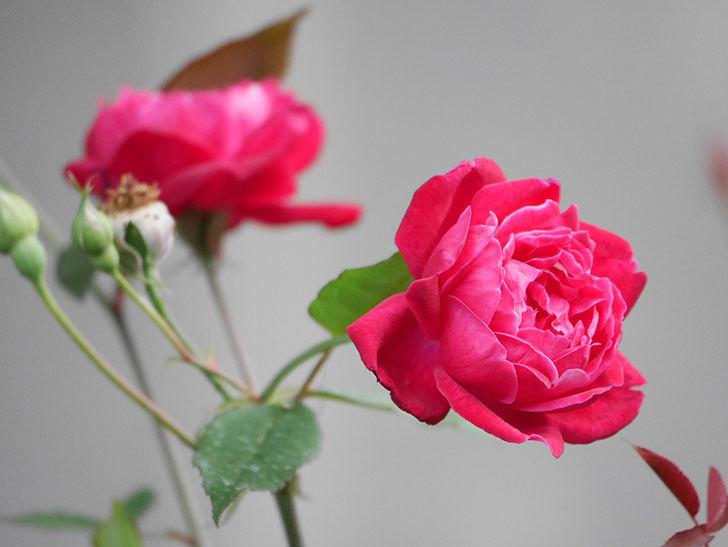 ルイフィリップ(Louis Philippe)の2番花が増えてきた。木立バラ。2020年-013.jpg