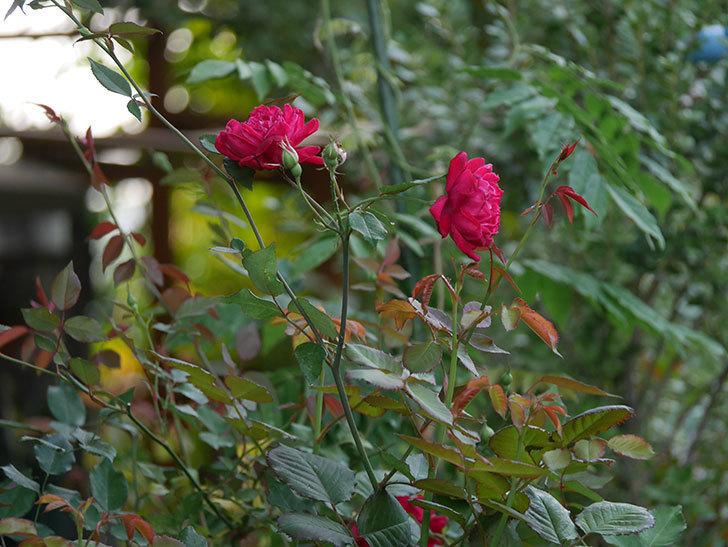ルイフィリップ(Louis Philippe)の2番花が増えてきた。木立バラ。2020年-014.jpg