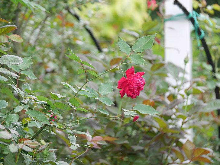 ルイフィリップ(Louis Philippe)の2番花が増えてきた。木立バラ。2020年-015.jpg