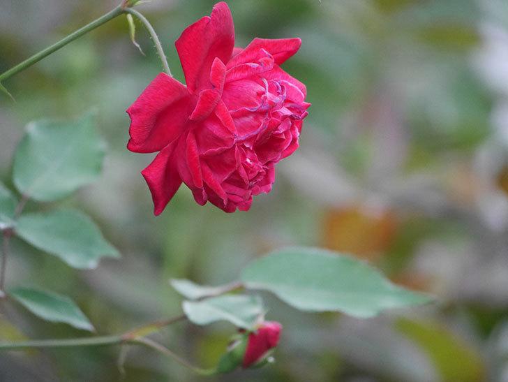 ルイフィリップ(Louis Philippe)の2番花が増えてきた。木立バラ。2020年-017.jpg