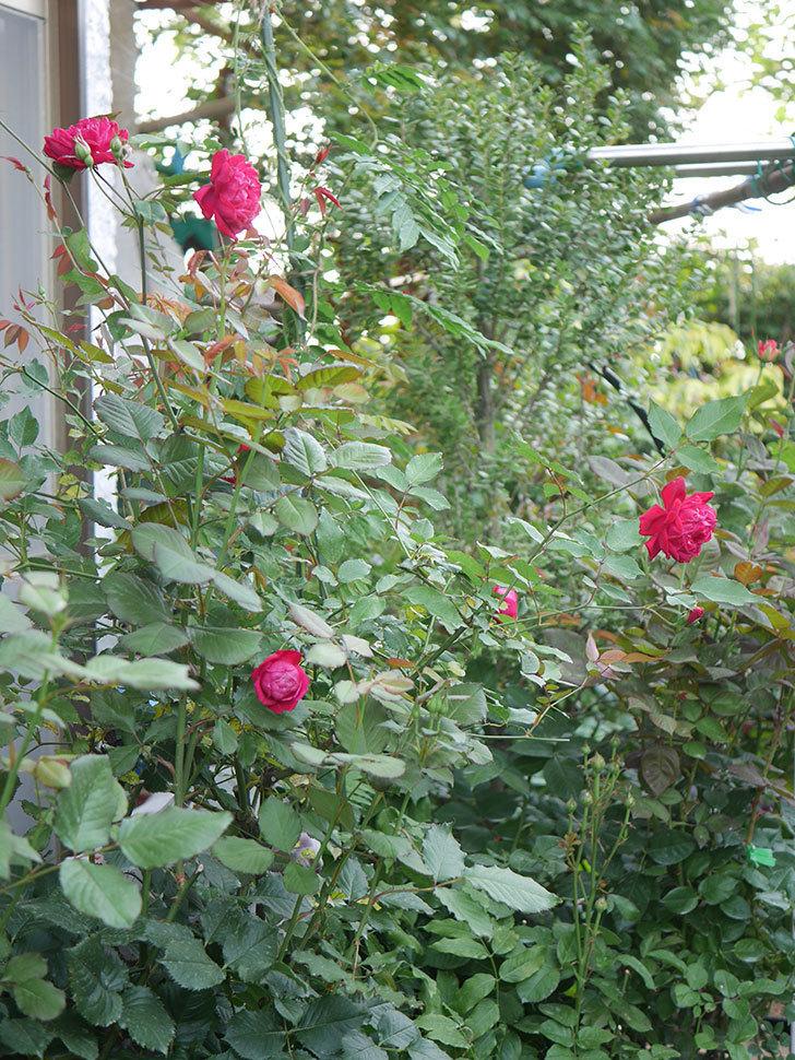 ルイフィリップ(Louis Philippe)の2番花が増えてきた。木立バラ。2020年-018.jpg