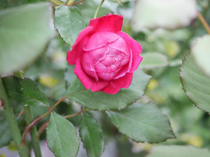 ルイフィリップ(Louis Philippe)の2番花が増えてきた。木立バラ。2020年-019.jpg