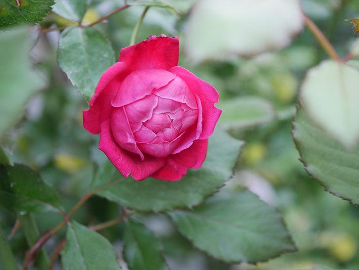 ルイフィリップ(Louis Philippe)の2番花が増えてきた。木立バラ。2020年-020.jpg