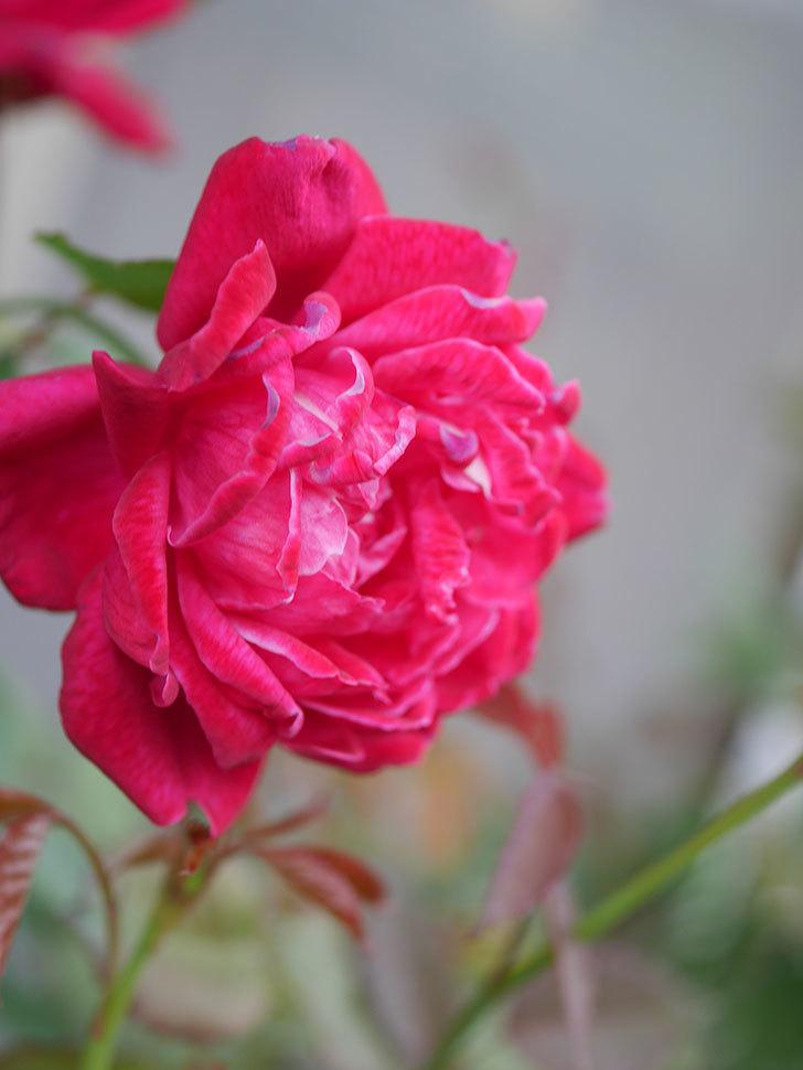ルイフィリップ(Louis Philippe)の2番花が増えてきた。木立バラ。2020年-021.jpg