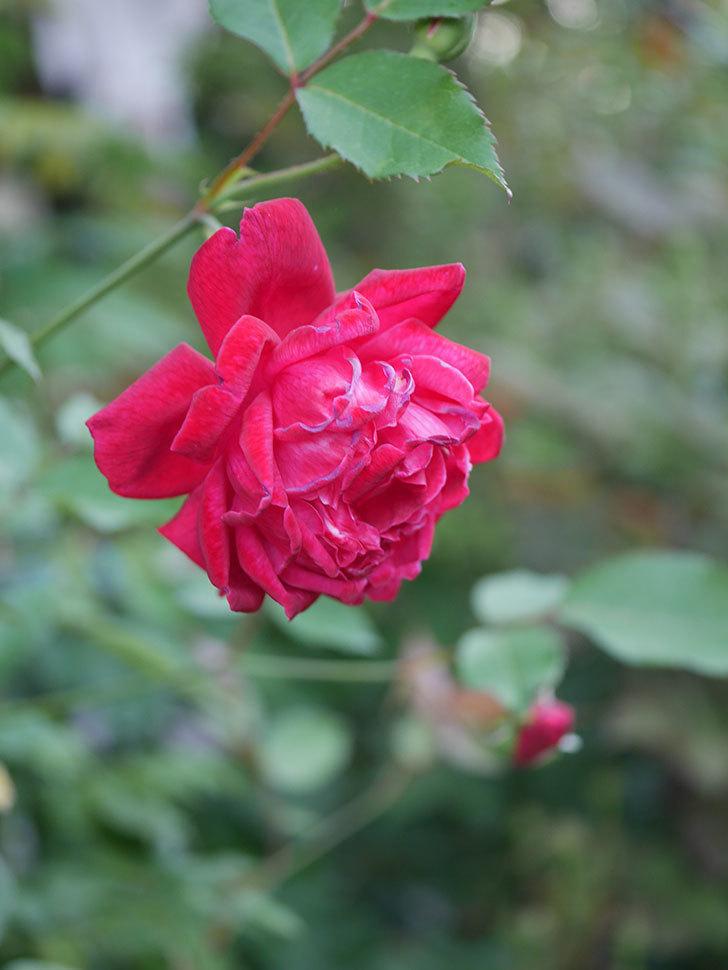 ルイフィリップ(Louis Philippe)の2番花が増えてきた。木立バラ。2020年-023.jpg