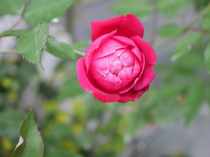 ルイフィリップ(Louis Philippe)の2番花が増えてきた。木立バラ。2020年-024.jpg