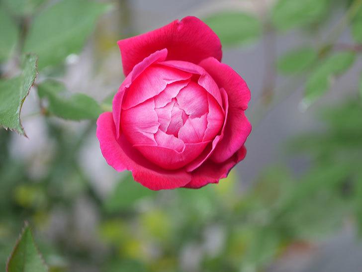 ルイフィリップ(Louis Philippe)の2番花が増えてきた。木立バラ。2020年-025.jpg