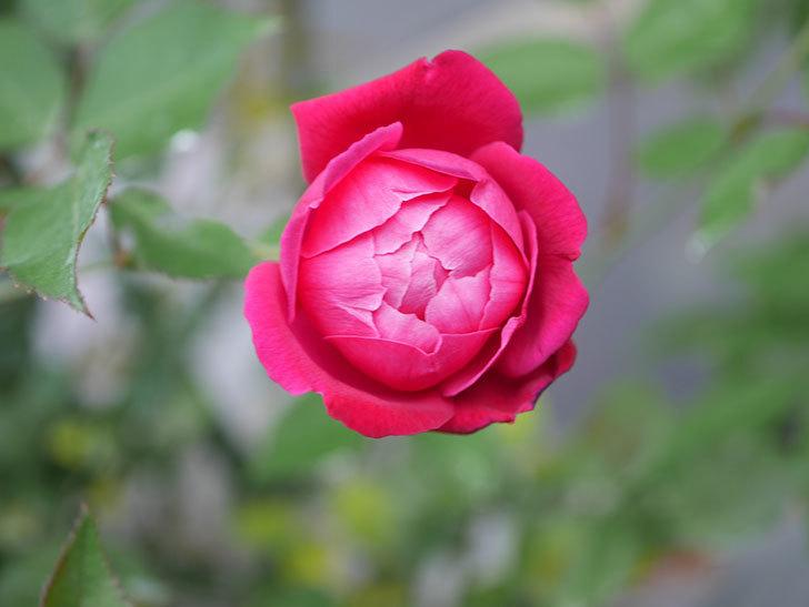 ルイフィリップ(Louis Philippe)の2番花が増えてきた。木立バラ。2020年-026.jpg