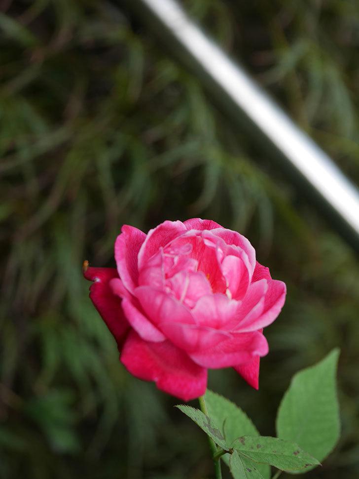 ルイフィリップ(Louis Philippe)の夏花が咲いた。木立バラ。2020年-001.jpg