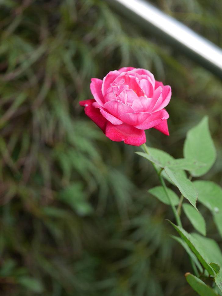 ルイフィリップ(Louis Philippe)の夏花が咲いた。木立バラ。2020年-007.jpg