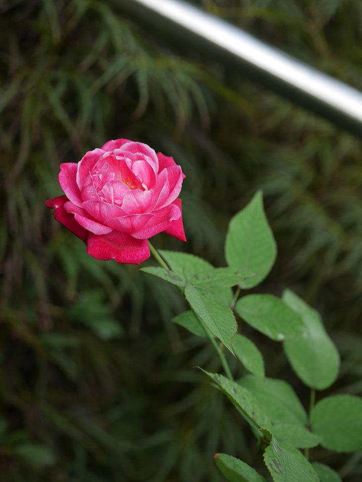 ルイフィリップ(Louis Philippe)の夏花が咲いた。木立バラ。2020年-008.jpg
