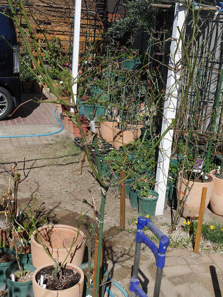 ルイフィリップ(Louis Philippe)の植え替えと冬剪定をした。木立バラ。2021年-002.jpg