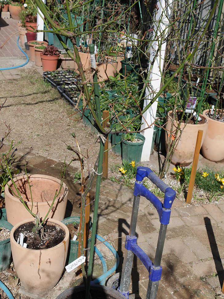 ルイフィリップ(Louis Philippe)の植え替えと冬剪定をした。木立バラ。2021年-004.jpg