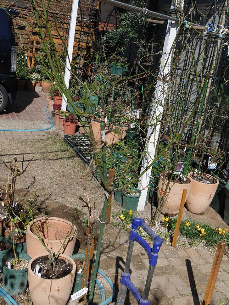 ルイフィリップ(Louis Philippe)の植え替えと冬剪定をした。木立バラ。2021年-005.jpg
